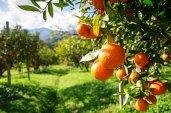 Owoce pomarańczy